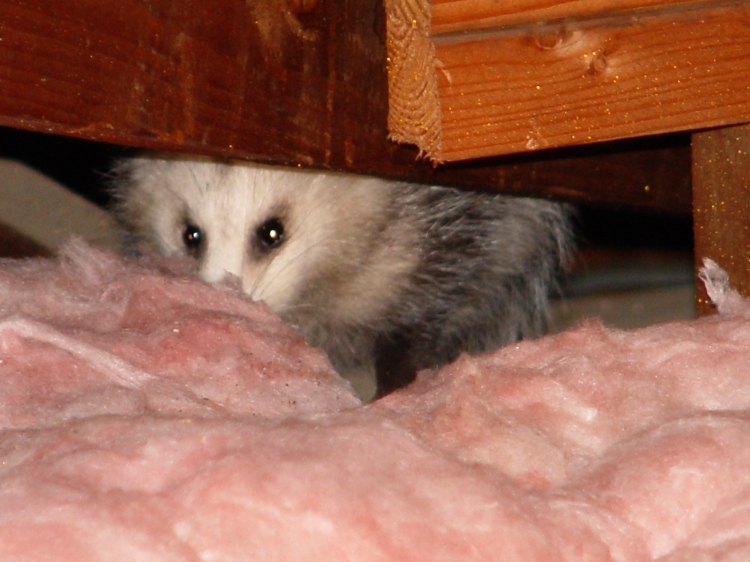 Opossum in an attic