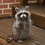 Raccoon Removal Services in Louisiana