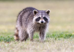 Racoons in Your Attic